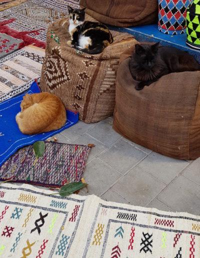 chats maroc (3)